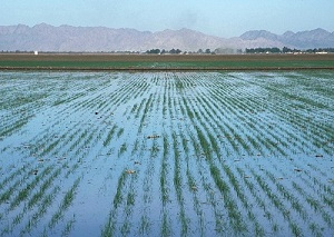 Flood irrigated field